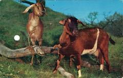 Two Nanny Goats, Jungleland, Thousand Oaks, CA
