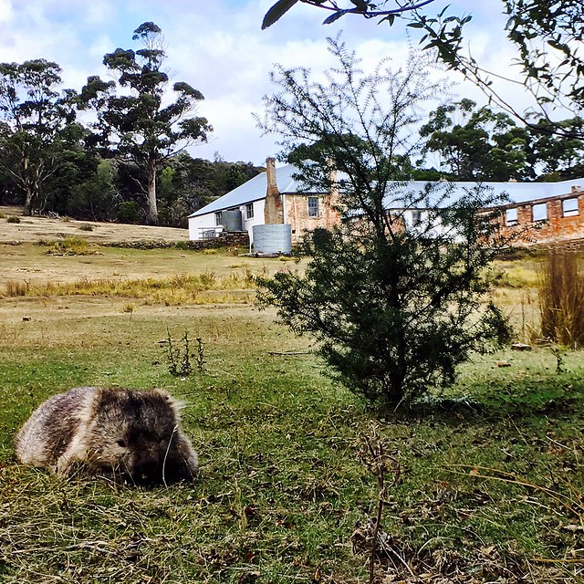 100/365 • the Wombat of Easter at Rest • . #mariaisland #wombat #exploring #abcmyphoto #tasmania #discovertasmania #tassiestyle #bellalunaboat #Autumn2017 #cruising