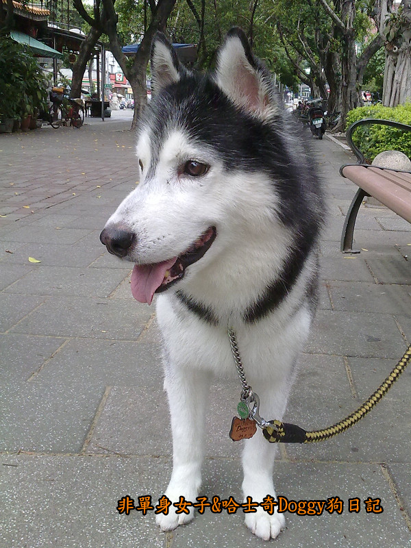 2011哈士奇doggy外出照片03