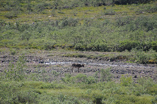 241 Caribou