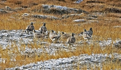 Tibetan Sandgrouse (Syrrhaptes tibetanus) at Tso Kar : Ladakh, Jammu and Kashmir, India.