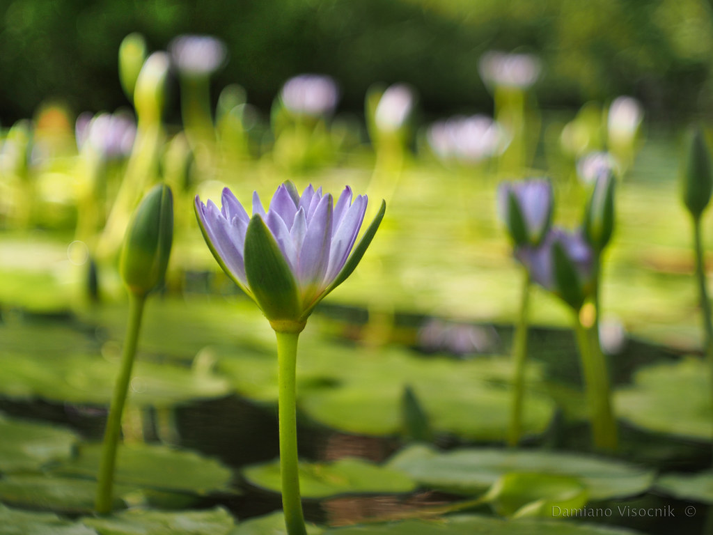 Water lilly_2_c