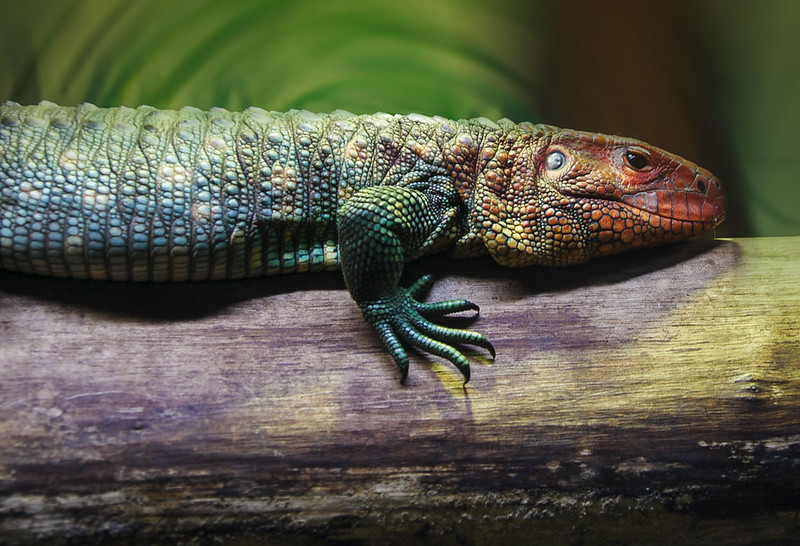 Crested Lizard at Tropical Wings