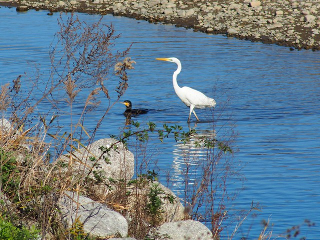 Great egret (ダイサギ) and common cormorant (カワウ)