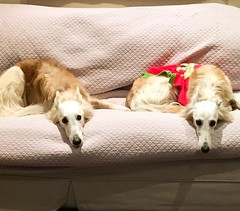 Double trouble #dogsofinstagram #silkenwindhound