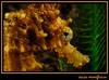 cavallet de mar (Hippocampus kuda)