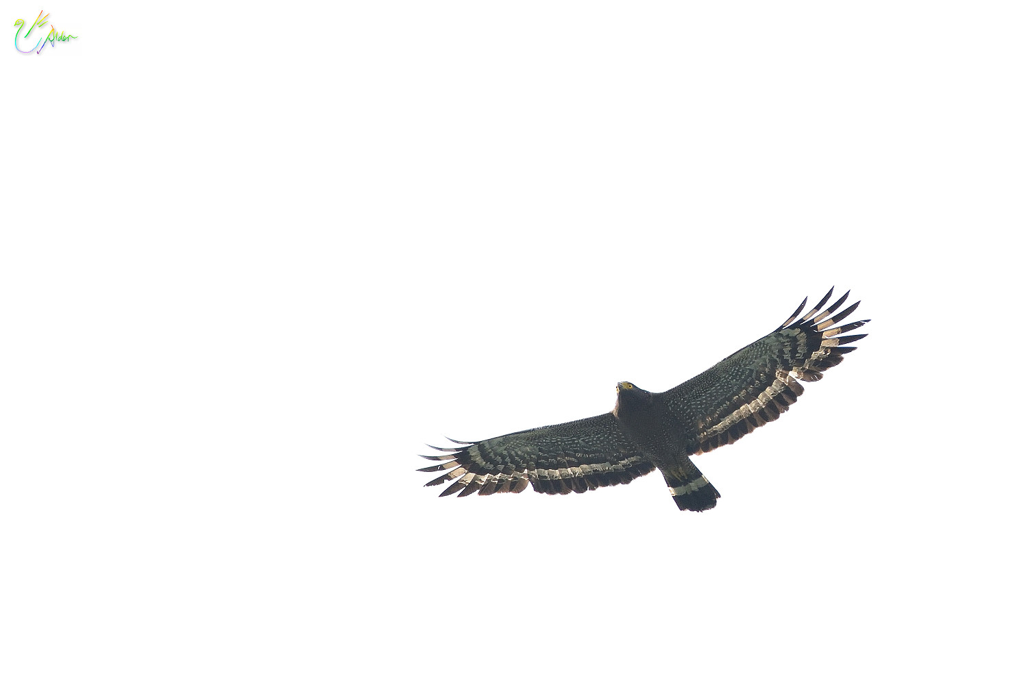 Crested_Serpent_Eagle_2479