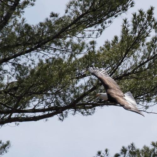 #baldeagle leaving the nest to do some fishing #eagle #wildlife #wildlifephotography #nature #naturephotography #birding #analomink #poconos #raptor #eaststroudsburg #forevergreennaturepreserve #awesomeearth #scenicpa