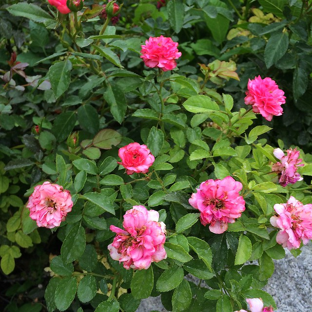 roses in the front yard