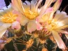 Three flowers on one cactus by mobileimpulse