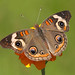 Common Buckeye Butterfly by asparks306