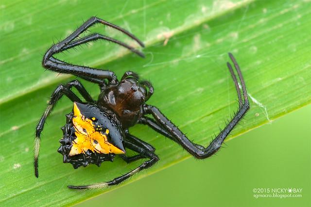 Orb weaver spider (Verrucosa sp.) - ESC_0015
