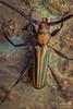 Longhorn Beetle (orange and green)