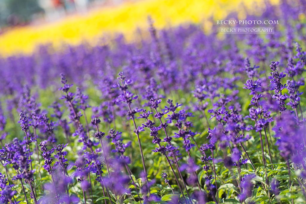2015.Nov flowerscapes 新社花海 @台中