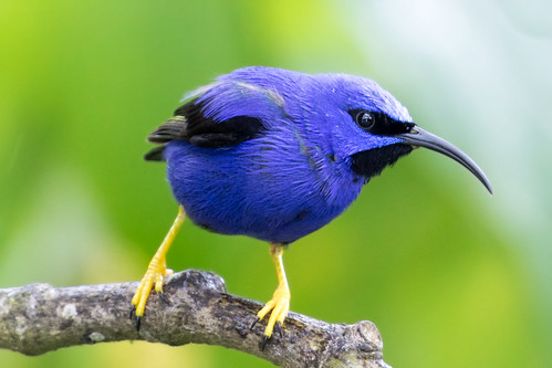 wild portrait nature beautiful birds wildlife birding asawright avifaune purplehoneycreepercyanerpescaeruleus