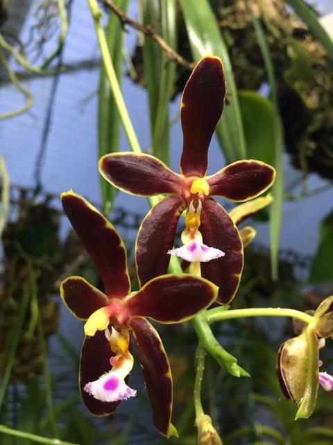 Phalanopsis Mannosa dark 23201446160_937369aa72_z