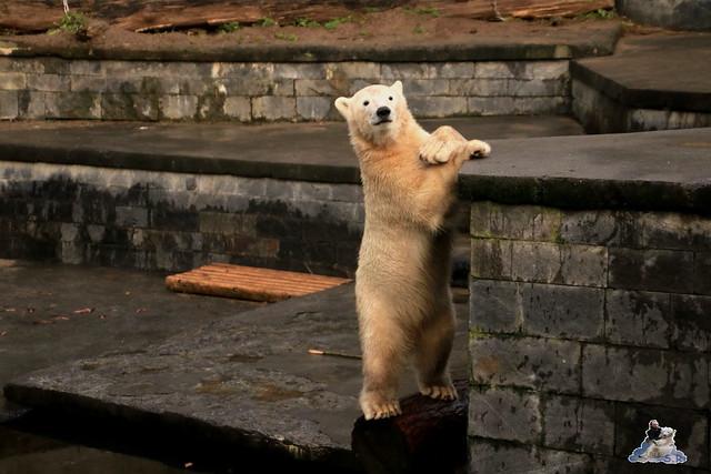 Eisbär Fiete im Zoo Rostock 12.12.2015   187
