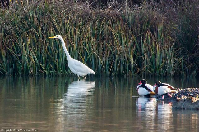 Great White Egret (Ardea alba) and Shelduck (Tadorna tadorna)