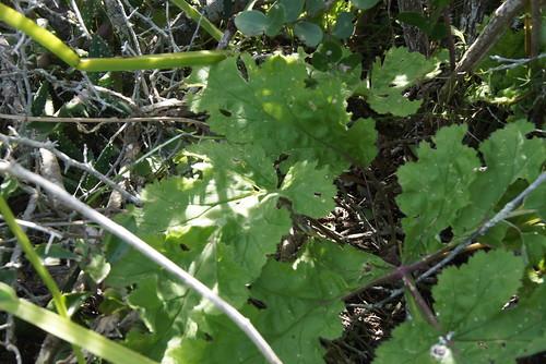 P. lobatum, leaf