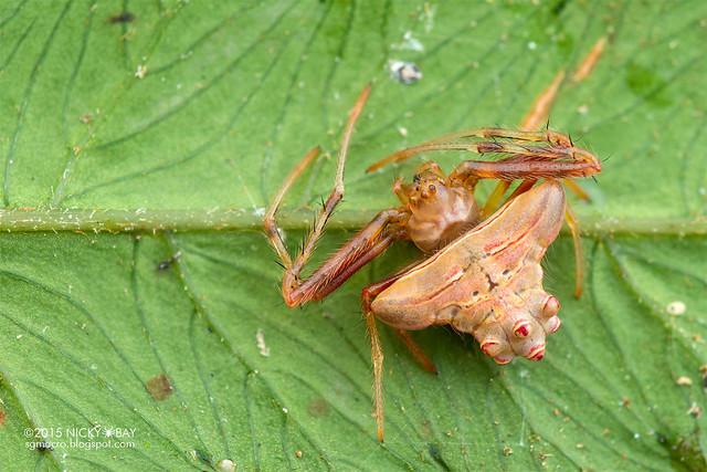 Orb weaver spider (Verrucosa sp.) - DSC_2767