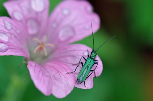 Flower beetle on a geranium.