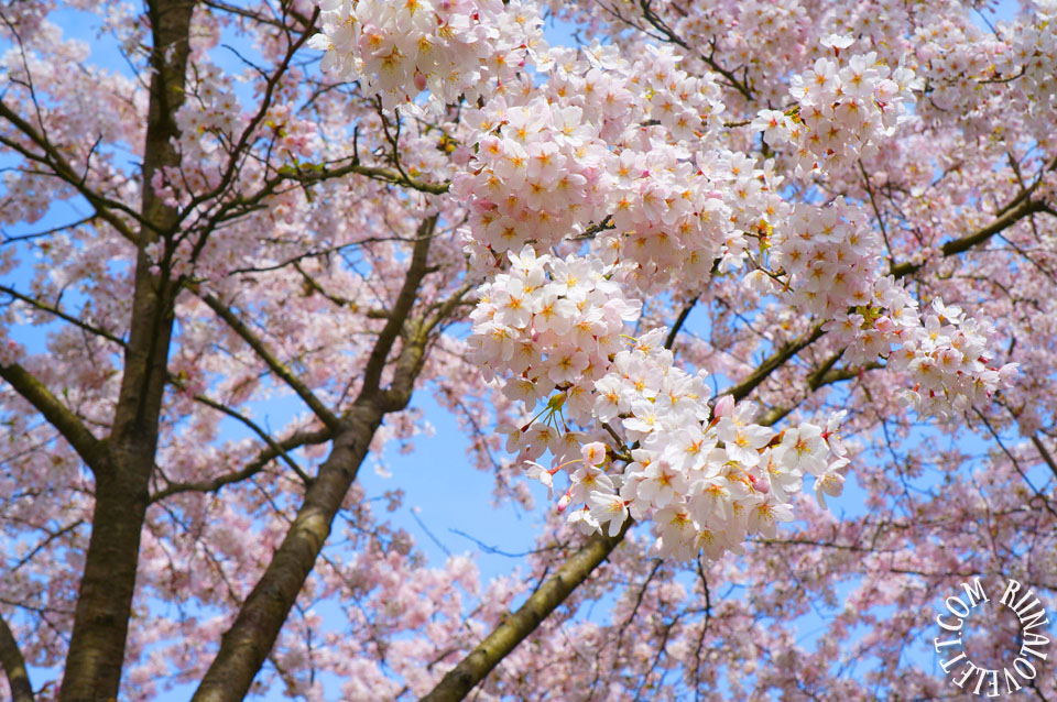 cherryblossoms13