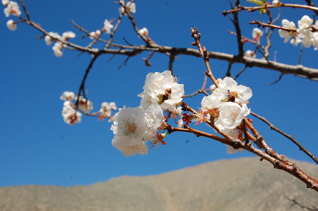 Spring Flowers, Diaguitas, Valle de Elqui, Chile