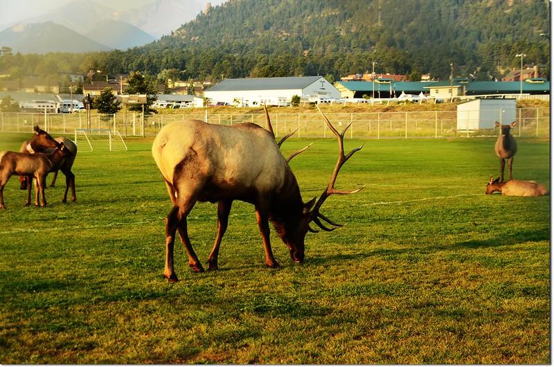 Elk, Lake Estes 2
