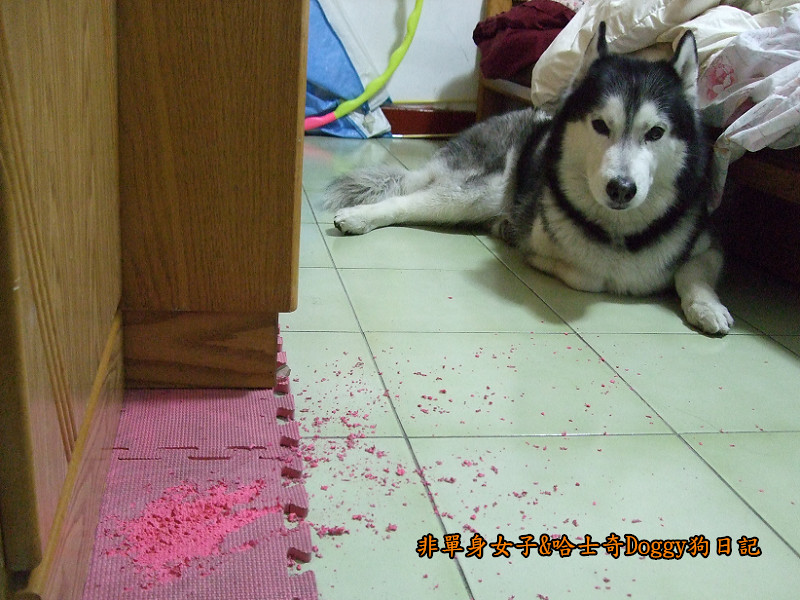 2011哈士奇doggy做壞事01