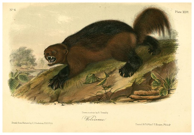 010-El gloton-The quadrupeds of North América-Vol1- 1849- J.J. Audubon-Universite de Strasbourg