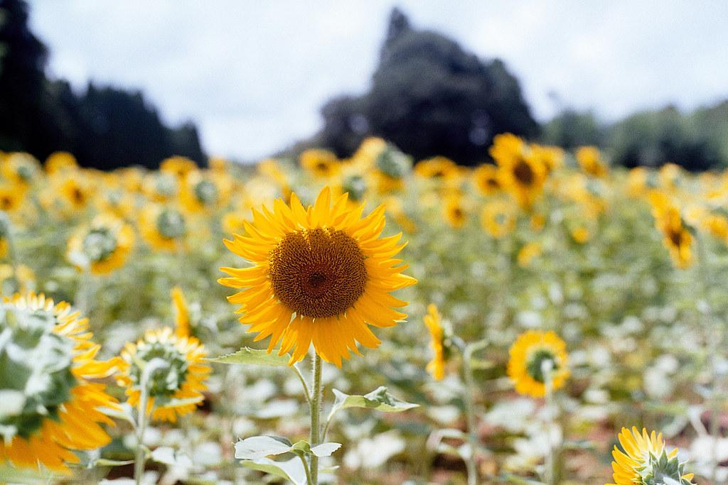 "向日葵 芝山千代田 Shibayama-Chiyoda 2015/08/11 在走回芝山千代田車站的時候,路上發現一大片的向日葵。  Nikon FM2 / 50mm FUJI X-TRA ISO400  <a href=""http://blog.toomore.net/2015/08/blog-post.html"" rel=""noreferrer nofollow"">blog.toomore.net/2015/08/blog-post.html</a> Photo by Toomore"
