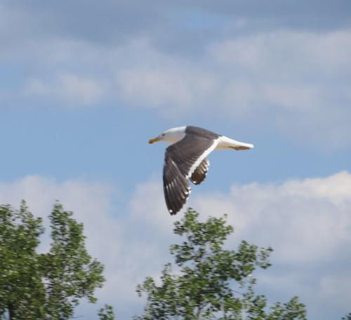 Chandeleur_flight_upperwing