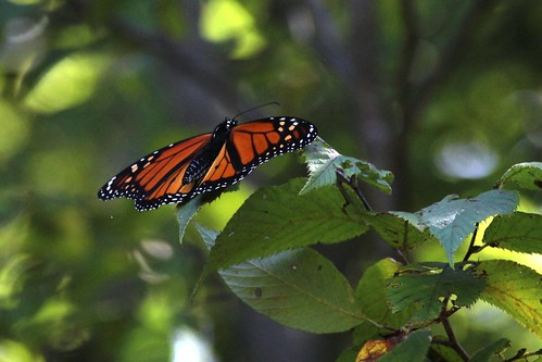 IMG_6165_Monarch_Butterfly