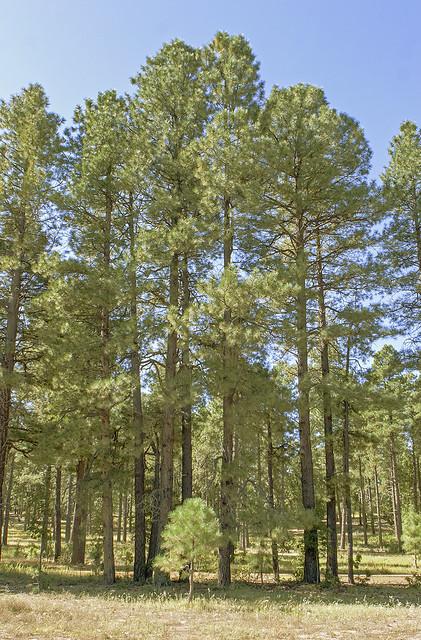 Tall Pine 7d1_2553