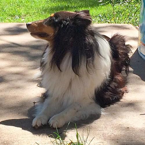 A doggie zen moment #sheltie #zen #Jasper