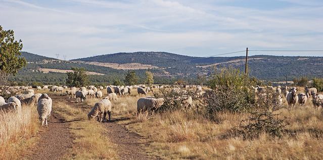Sheep 260915_20d_2615