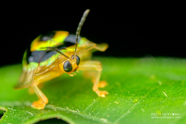 Tortoise beetle (Cassidinae) - DSC_8065