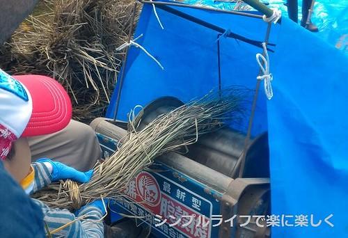 稲刈り・脱穀、足踏み脱穀機