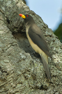 Yellow-billed Oxpecker - Kenya_0067