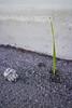Grass blade and concrete rock on asphalt