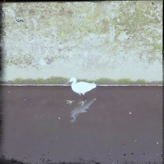 Little egret on a river