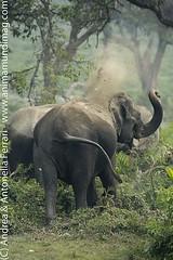 Indian elephant Elephas maximus indicus