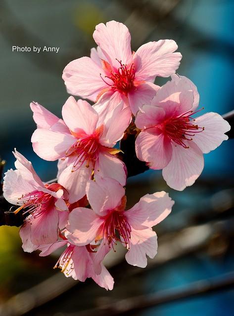 麗池櫻花11