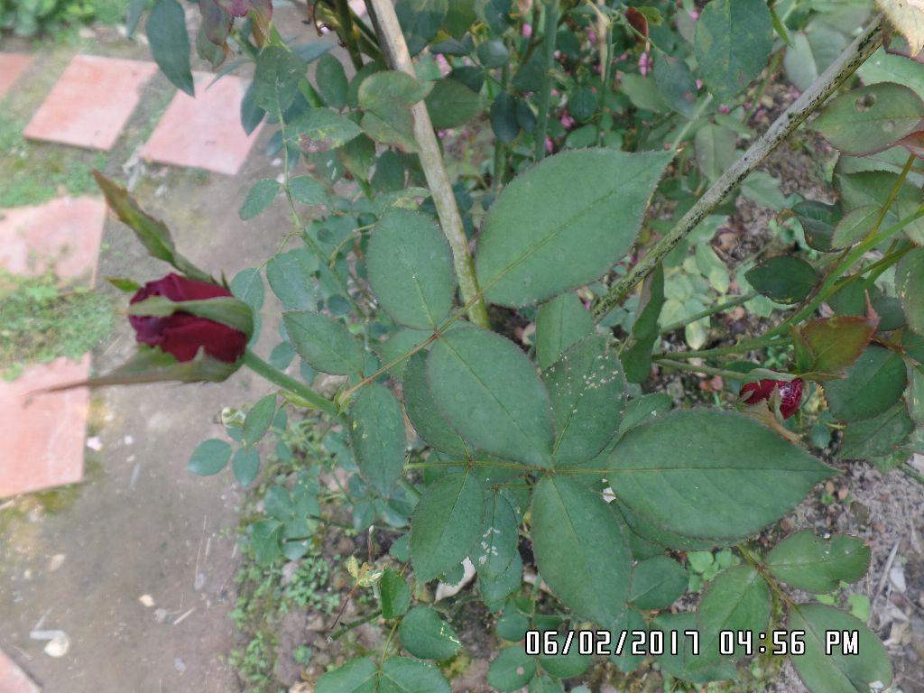 Các lá hồng The Prince có lá chét 5, lá hơi bầu tròn màu xanh đậm, hơi nhám