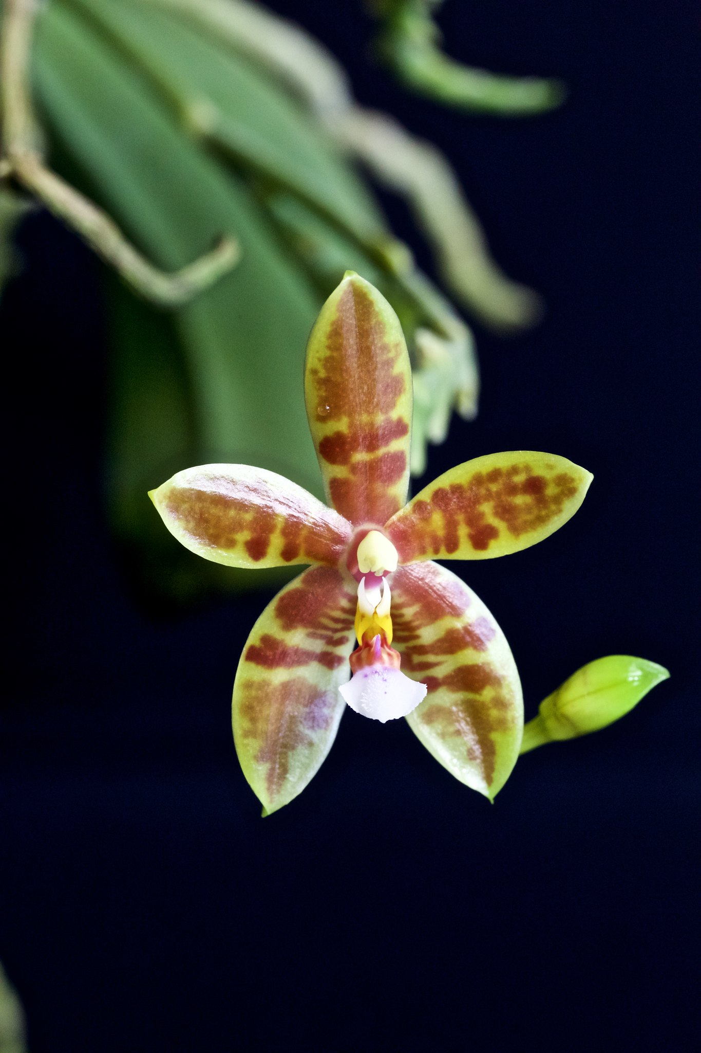 Phalaenopsis Meen Estrela 20521039383_1808fb8ef8_k