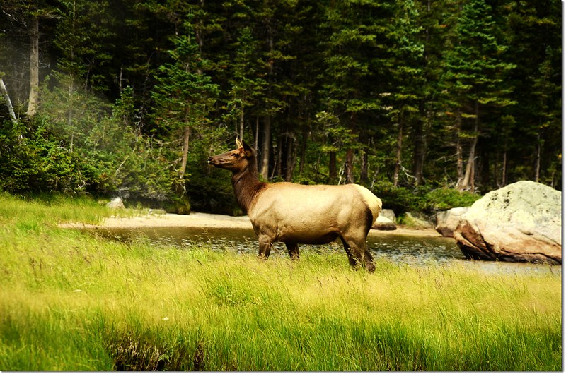 Elk at Jewel Lake 3