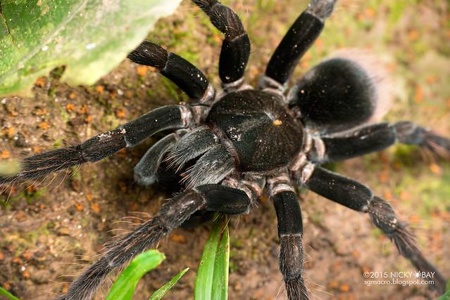 Tarantula (Theraphosidae) - DSC_3427