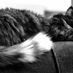 lazy cat b+w