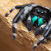 Phidippus audax jumping spider by Tibor Nagy