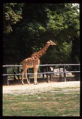 Giraffa camelopardalis tippelskirchi DT [FR Zoo París]
